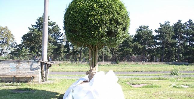 Transport vzrostlých stromů pro hotel Kempinski